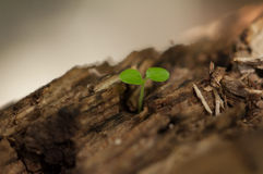 Growing plant on wood Royalty Free Stock Photo