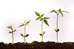 Growing plants. Four seedlings growing from soil on white Stock Photo