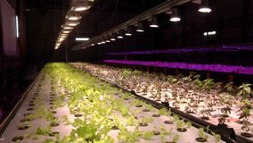 Growing plants by aquaponics under special lamps stock footage