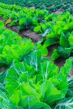 Growing plants of cabbage іn a bed rows red soil on a farmland. Stock Image
