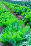 Growing plants of cabbage іn a bed rows red soil on a farmland. Stock Images