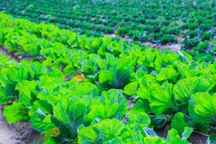 Growing plants of cabbage іn a bed rows red soil on a farmland. Royalty Free Stock Photos