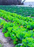 Growing plants of cabbage іn a bed rows red soil on a farmland. Stock Photo