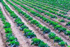 Growing plants of cabbage іn a bed rows red soil on a farmland. Royalty Free Stock Photography