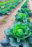 Growing plants of cabbage іn a bed rows red soil on a farmland. Royalty Free Stock Images