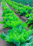 Growing plants of cabbage іn a bed rows red soil on a farmland. Stock Photography