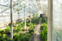 Growing plants in the old greenhouse. Stock Photo