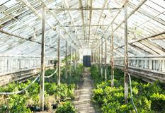Growing plants in the old greenhouse. Royalty Free Stock Photo
