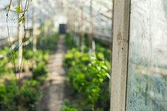 Growing plants in the old greenhouse. Stock Photos