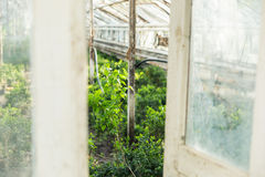 Growing plants in the old greenhouse. Royalty Free Stock Photos