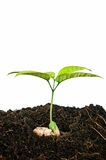 Growing plants from seed Royalty Free Stock Photos