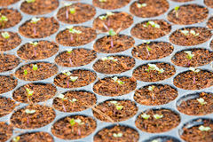 Growing plants of seedlings Royalty Free Stock Photography