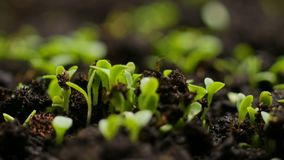 Growing plants in spring timelapse, sprouts germination newborn cress salad plant in greenhouse agriculture