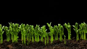 Growing plants in Spring Timelapse, Sprouts Germination newborn Pea plant in greenhouse agriculture