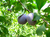 Growing plums Stock Image