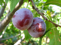 Growing plums Stock Photo