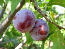 Growing plums Stock Photo