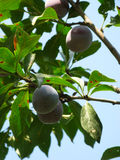 Growing plums Stock Photos