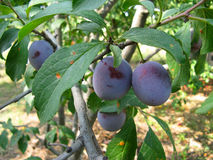 Growing plums Royalty Free Stock Photography