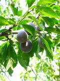 Growing plums Stock Photography