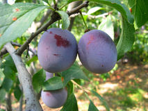 Growing plums Royalty Free Stock Photo