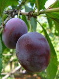 Growing plums Royalty Free Stock Images