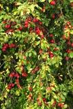 Growing plums Stock Photos