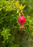 Growing Pomegranate fruit on branch Royalty Free Stock Photos