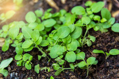 In the growing ponds growing seedlings. Stock Photography