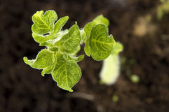 Growing potato. baby plant Royalty Free Stock Photo