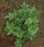 Growing potato close-up Stock Photos