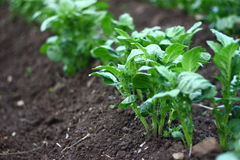 Growing potato. Detail on potato plant and soil Stock Photography