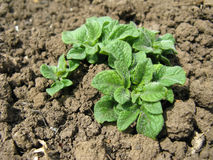 Growing potatoes in the garden bed Royalty Free Stock Images