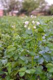 Green leaves of potato with inflorescence royalty free stock images