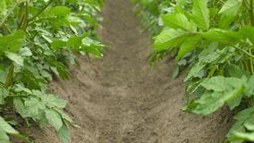 Growing potatoes. Rows of plants Stock Photography