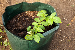 Growing Potatoes Stock Images