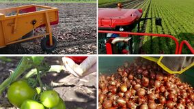 Organic Vegetables-Multi screen. Growing and production of different types of vegetables,edited video clips in one multi-screen stock video footage