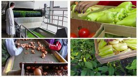 Vegetable Production-Multi Screen. Growing and production of different types of vegetables,edited video clips in one multi-screen stock footage