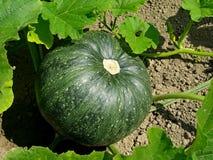 Growing pumpkin Royalty Free Stock Images