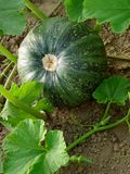 Growing pumpkin Stock Images