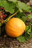 Growing pumpkin Stock Image
