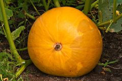 Growing pumpkin Stock Photos