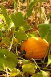 Growing pumpkin Royalty Free Stock Photography