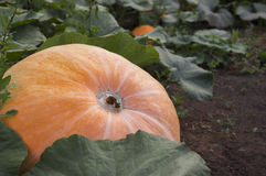 Growing pumpkin Stock Photo