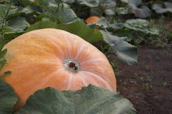 Growing pumpkin. The big pumpkin growing in the garden Stock Photo