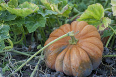 Growing pumpkin Royalty Free Stock Image