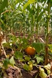 Growing pumpkin in corn Royalty Free Stock Image