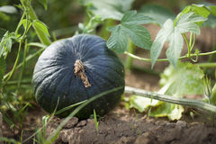 Growing pumpkin in the field Royalty Free Stock Photos