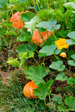 Growing pumpkins  Stock Photo