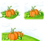Growing pumpkins Royalty Free Stock Images
